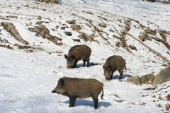Wild boars in snow Royalty Free Stock Photos