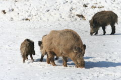 Wild boars during winter Stock Image