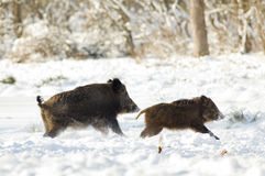 Wild boars on snow Royalty Free Stock Image