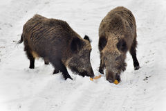 Wild boars on snow Stock Photography