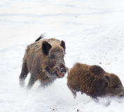 Wild boars on snow Royalty Free Stock Photo