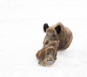 Wild boars on snow Royalty Free Stock Images