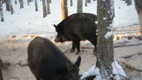 Wild boars in snowy forest. Winter. stock video