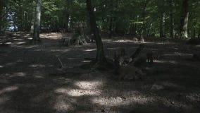 Wild boars stock video