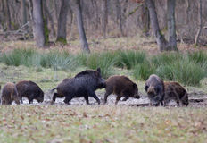 Wild boars (sus scrofa ferus) Stock Photography