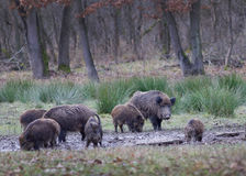 Wild boars (sus scrofa ferus) Stock Photos