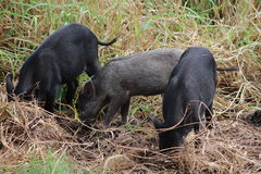 Wild boars. Three young wild boars digging on field, Hawaii Royalty Free Stock Photos