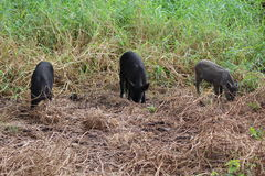 Wild boars. Three young wild boars digging on field, Hawaii Stock Image