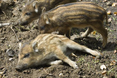 Wild boars Stock Image