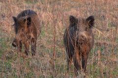 Wild boars Royalty Free Stock Photos
