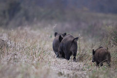 Wild Boars walking in a row Stock Photo