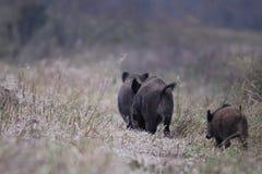 Wild Boars walking in a row Stock Photo