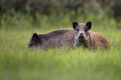 Wild boars in the wild Royalty Free Stock Photo