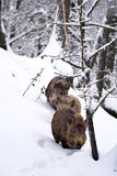 Wild boars or Wild hogs (Sus scrofa) in the snow Stock Image