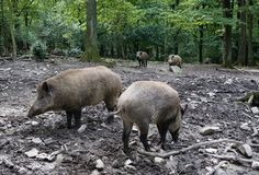 Wild boars in the woods. Royalty Free Stock Images