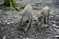 Wild boars in the woods. Royalty Free Stock Image