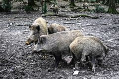 Wild boars in the woods. stock image