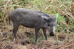 Wild boars. Young wild boar in Hawaii forest Stock Photography