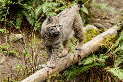Wild Bobcast in Mountain Setting. Wild bobcat standing on large log in lush green forest Stock Photography