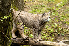 Wild Bobcast in Mountain Setting. Wild bobcat standing on large log in lush green forest Stock Image