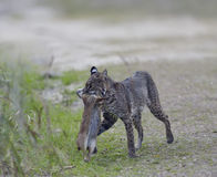 Wild Bobcat Hunting Stock Photos