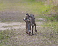 Wild Bobcat Hunting Royalty Free Stock Photos