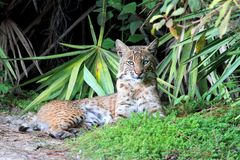 Wild Bobcat (Lynx rufus). Relaxing in Florida Royalty Free Stock Image