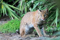 Wild Bobcat (Lynx rufus). Relaxing in Florida Royalty Free Stock Images