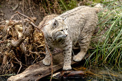 Wild Bobcat in Mountain Setting Stock Image