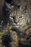 Wild bobcat stalking its prey. A Bobcat, Lynx rufus, stalks its prey in Joshua Tree National Park, California Royalty Free Stock Images