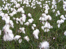 Wild Bog Cotton. A patch of wild bog cotton in a field - only occurs early summer Stock Images