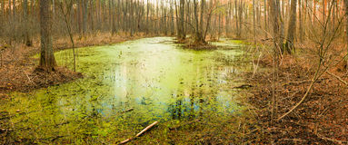 Wild Bog Swamp. Stock Photos
