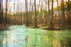 Wild Bog Swamp. Royalty Free Stock Photography