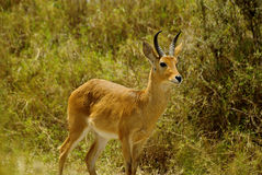 Wild Bohor reedbuck Royalty Free Stock Images