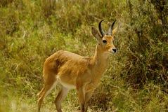 Wild Bohor reedbuck. Image of a wild Bohor reedbuck Royalty Free Stock Images