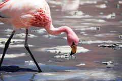 Wild Bolivian flamingo stock photo