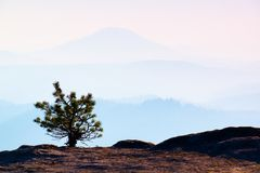 Wild bonsai of pine on sandstone rocks. Blue mist in valley below, hills in background. Royalty Free Stock Image