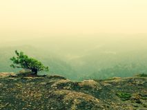 Wild bonsai of pine on sandstone rocks. Blue mist in valley below Royalty Free Stock Photography