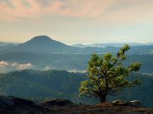 Wild bonsai of pine on sandstone rocks. Blue mist in valley below. Stock Images