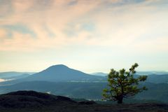 Wild bonsai of pine on sandstone rocks. Blue mist in valley below. Royalty Free Stock Images