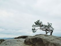 Wild bonsai of pine on sandstone rocks, gray clouds Royalty Free Stock Image