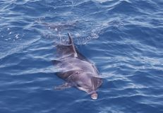 Wild bootlenose dolphin just under the blue sea surface stock images
