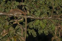 Wild Bornean Slow Lori Peeking Around Branch Royalty Free Stock Photos