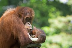 Wild Borneo Orangutan Stock Photography