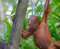 Wild Borneo Orangutan Stock Photo