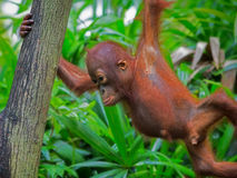 Wild Borneo Orangutan Royalty Free Stock Photos