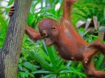 Wild Borneo Orangutan Royalty Free Stock Photos