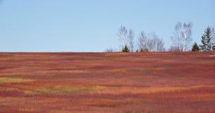 Wild Bosbessengebied in de Lente royalty-vrije stock foto's