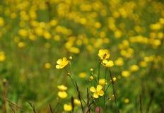 Wild Boterbloemengebied Stock Fotografie