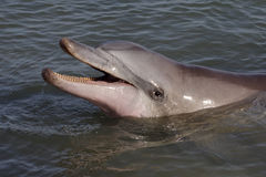 Wild bottle-nosed dolphin smiling, Australia Stock Photos